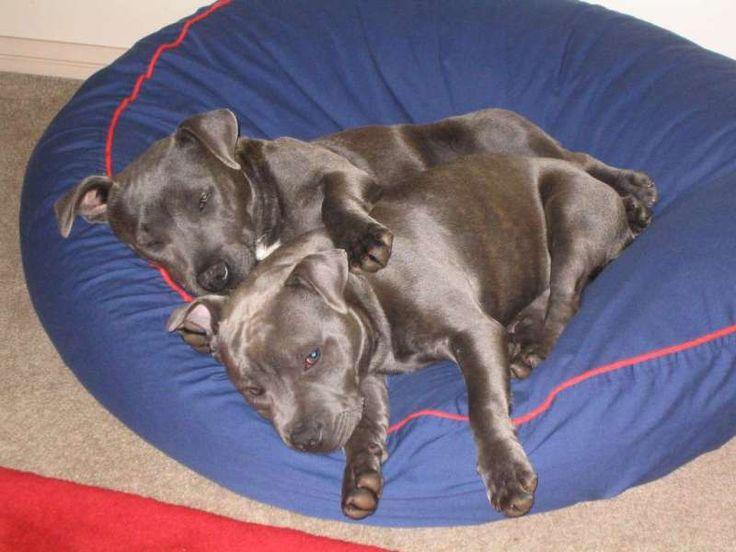 Staffordshire, Charlie & Bonny on their Barka Parka pet bed very comfy and cute www.barkaparka.com.au