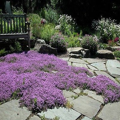 Creeping Thyme Magic Carpet Seeds (Thymus Serpyllum) 100+Seeds - Under The Sun Seeds - 1