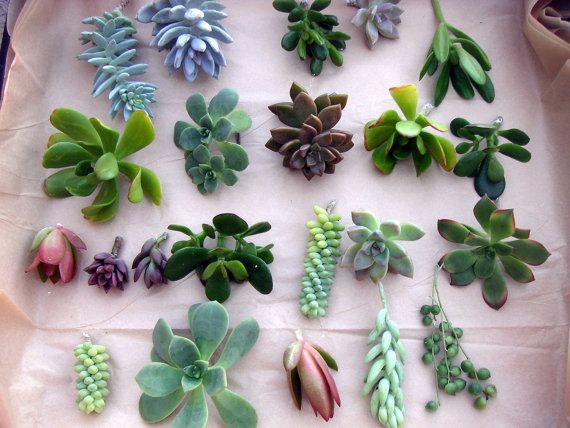 100 Individual unrooted SUCCULENT CUTTINGS, great variety & color. Perfect!
