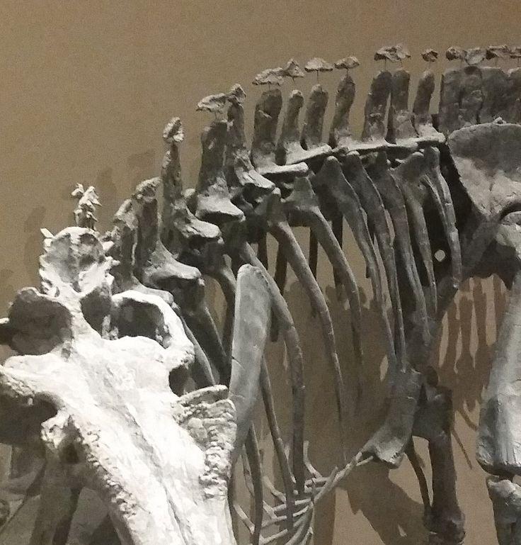 Ceratosaurus est le seul théropode connu à présenter des ostéodermes.