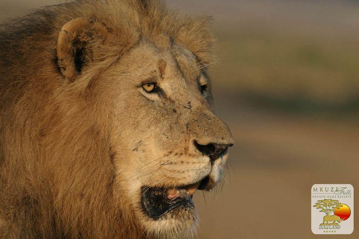 Lion at Mkuze Falls