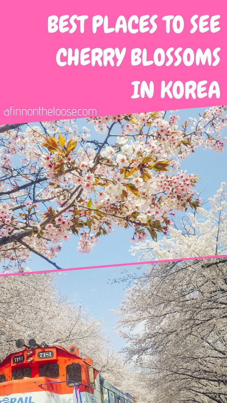 South Korea S Best Cherry Blossom Spots In 2020 Places To See Asia Travel China Travel Destinations