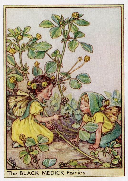 Zwarte Medick Flower Fairy Vintage Print, c.1950 Cicely Mary Barker-boekillustratie plaat
