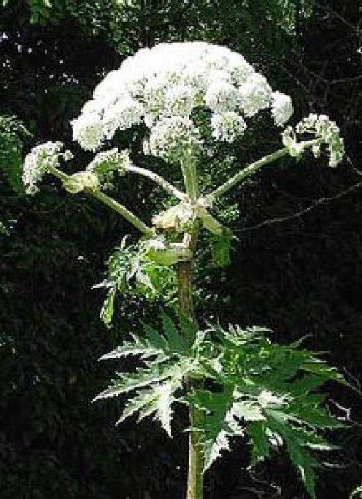 Giant hogweed is an invasive, tall, robust, herbaceous biennial. It can grow up to 20 feet tall with large hollow stems. The sap of a mature giant hogweed causes phytophotodermatitis. Sap contacting with skin in the presence of sunlight will causes severe rashes, blisters, and skin discoloration. Eradication is a must.