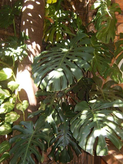 Guembe, monstera