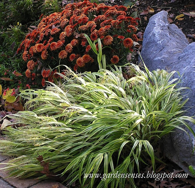 Fall colors japanese forest grass hakonechloa macra is for Japanese grass