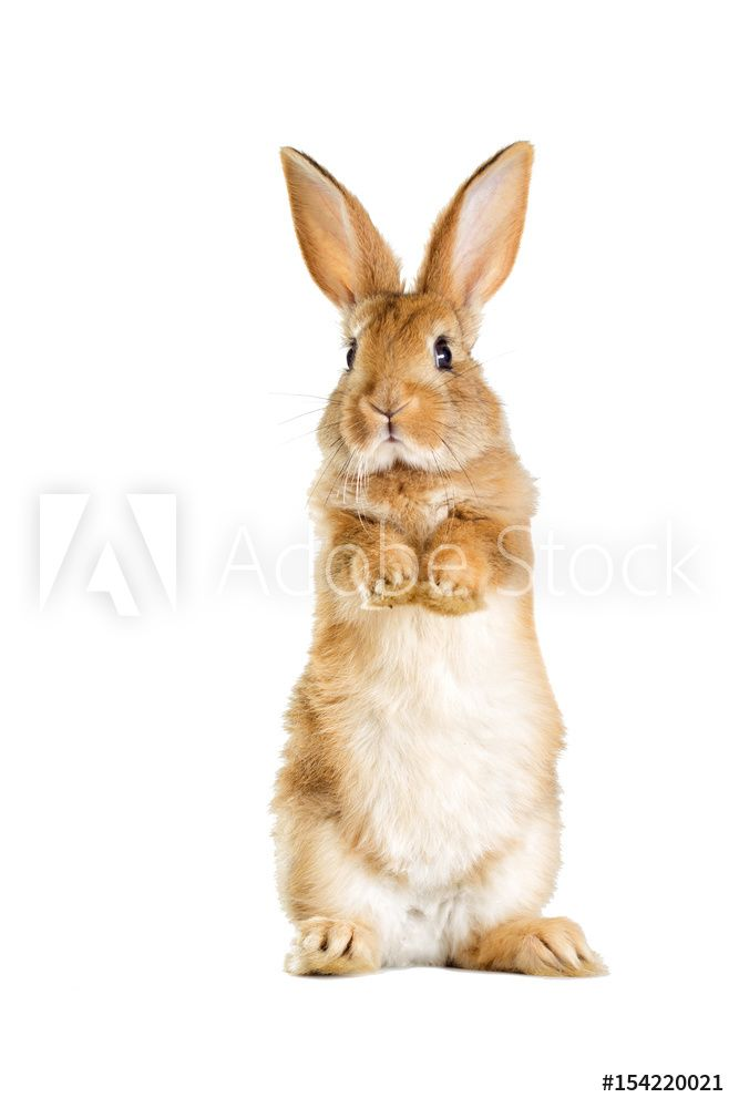 The Funny Rabbit Is Standing On Its Hind Legs Plakat Obraz Na Zed