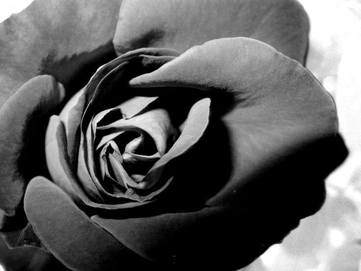 Black rose #rose