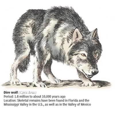 extinct wolf | the dire wolf http en wikipedia org wiki dire wolf