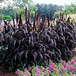 Purple Millet Plant Perennial