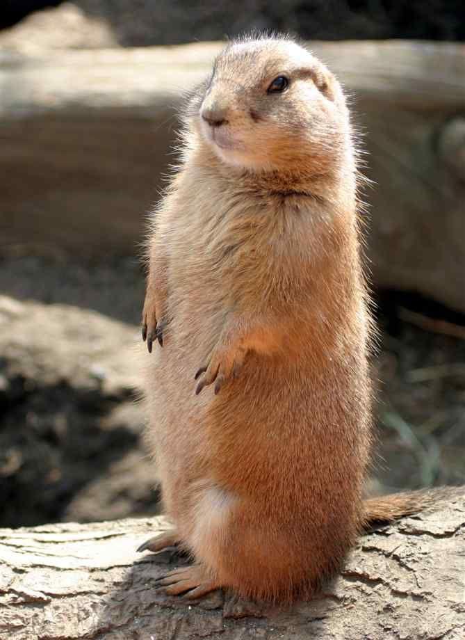 Prairie Dog Prairie Dog Prairie Dog #meerkats #prairiedog #animallovers #meekcatlovers #cute