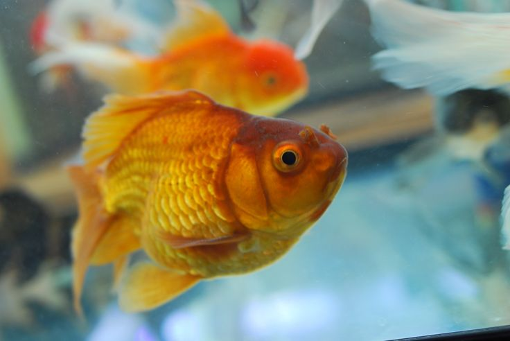 24 Best images about Goldfishes! on Pinterest | Popular ...