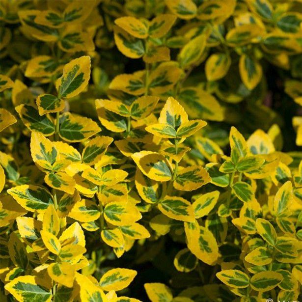 Euonymus fortunei Emerald n gold, Fusain
