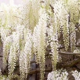 Glycine blanche du Japon - Plantes et Jardins