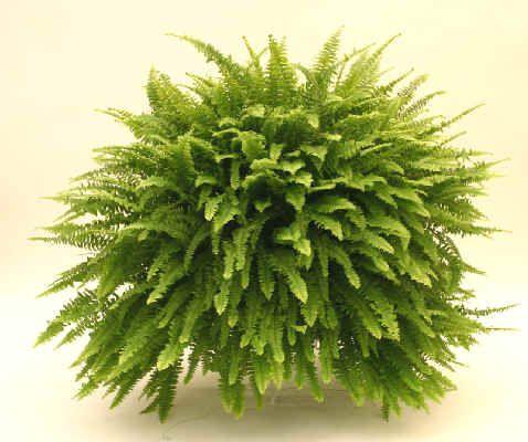 1000 ideas sobre helechos colgantes en pinterest cestas - Plantas que aguantan temperaturas extremas ...
