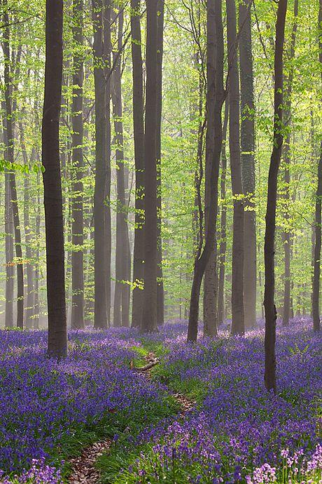 Bluebell forest at sunrise - Dworp, Belgium by Bart Heirweg