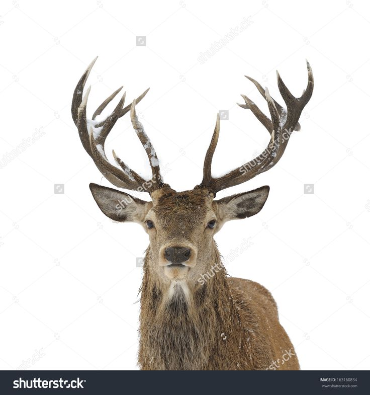Red deer head and antler portrait isolated on white.