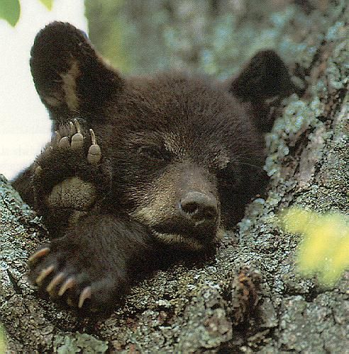 ~~black bear cub sleeping~~