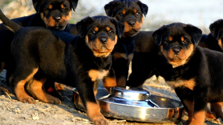 Rottweiler Dinner Time