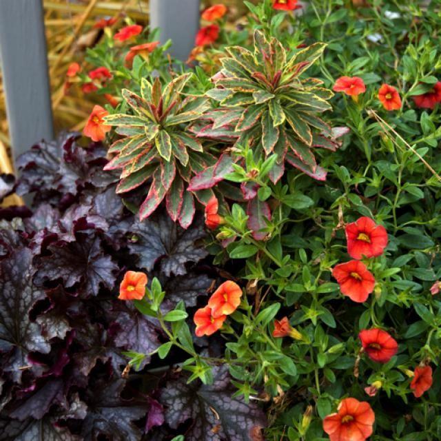 Fall Container Garden Ideas: Fall Container Garden Plant Combo  heuchera,  dolce Blackcurant,   euphorbia, Helens Blush,  calibrachoa, Superbells Dreamsicle
