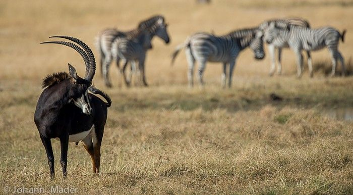 Sable and zebra