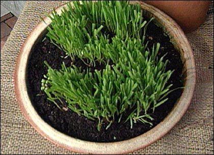Dodonaea Viscosa, Fast Growing Plants Dry spell Resistant Screen Hedges :http://davidsions.com/home-improvement/gardening/dodonaea-viscosa-fast-growing-plants-dry-spell-resistant-screen-hedges