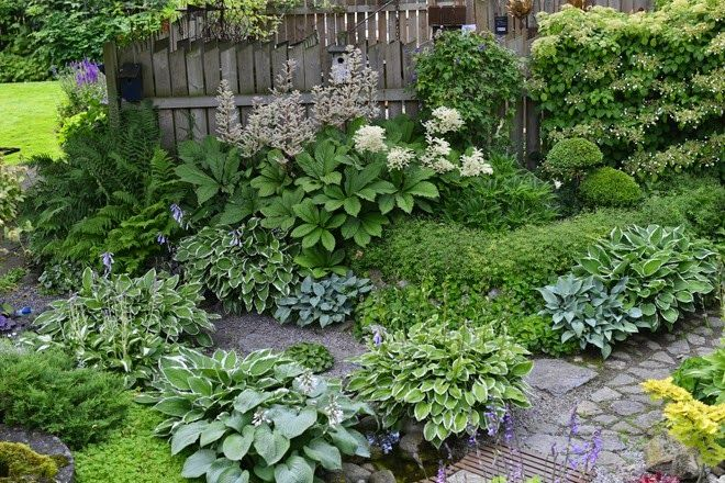 A shady spot with Hosta's and Rodgersia in a garden in Denmark