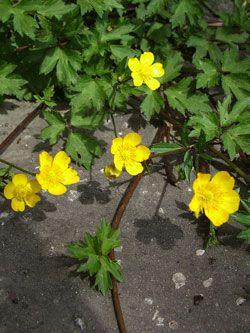 pryskyřník plazivý - Ranunculus repens | Květena České republiky - plané…