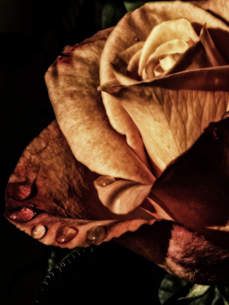 Secrets beneath a rose by Maria Bruscha on 500px