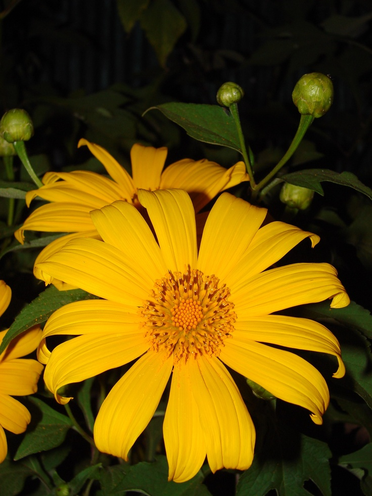 Mexican sunflowers in Thailand