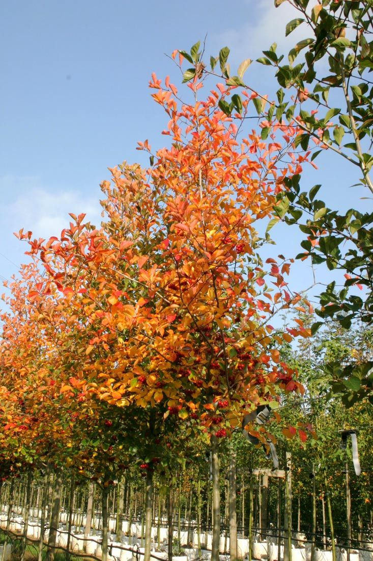 This tree has glossy green leaves which appear in the spring accompanied by creamy white flowers in May. The autumn time gives rise to this trees best display, with a glorious show of bright red and orange foliage colour