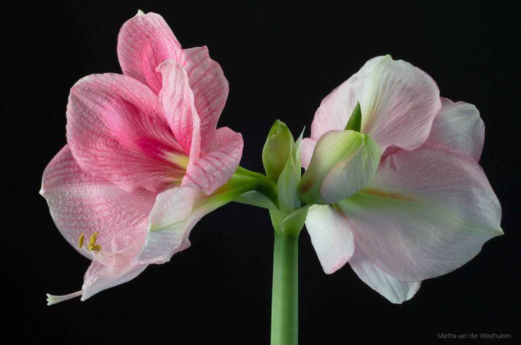 Amaryllis flower. Photo by Martha van der Westhuizen
