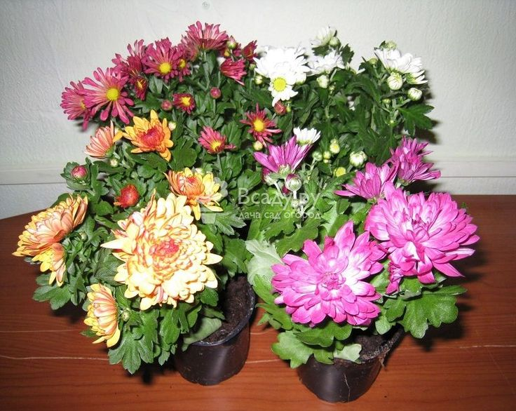 Комнатная хризантема уход в домашних условиях фото и видео: особенности выращивания и агротехники в период вегетации, место для посадки, подкормка и полив