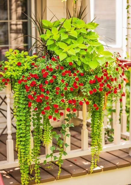 A long planter chock-full of flowers and foliage substitutes for a window box on a porch railing. 'Goldilocks' creeping Jenny, 'Burlesque' pigeon berry, Madagascar dragon tree, calibrochoa and coleus create a lush mix of upright and trailing plants.
