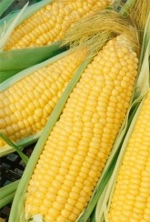Sweetcorn Mirai Picnic-Plants Buy 1 get 1 FREE Offer