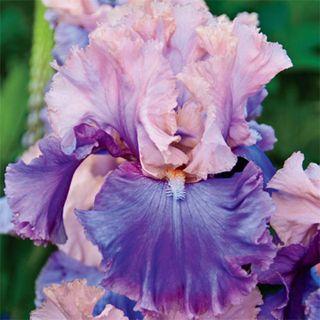 Florentine Silk Iris...just got a few of these for my garden