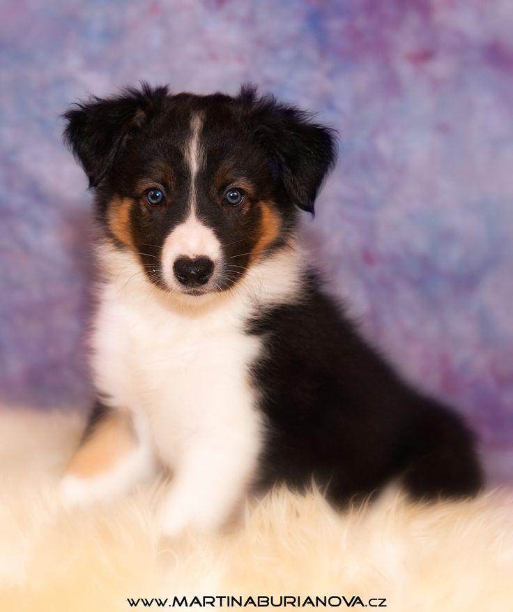 www.martinaburianova.cz Dogs - border collie puppy