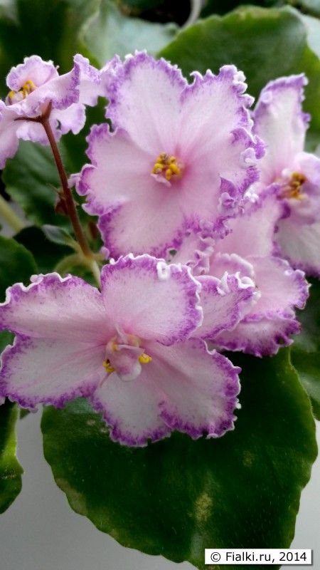 African Violet: Saintpaulia LES 'Lviv Opera' [Family: Gesneriaceae] with Picotee flowers.