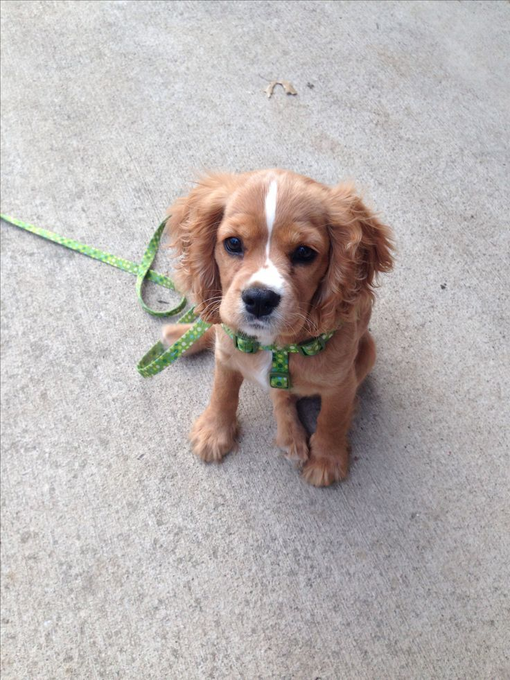Cockalier Puppy King Charles Cavalier Mixed With Cocker Spaniel
