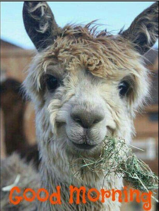 Llamas With Afros 79 best images about A...