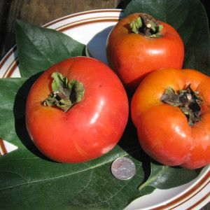 Giant Hanafuyu Persimmon Fruit - There are two basic types of persimmon fruit — astringent and non-astringent, or puckered versus non-puckered. You can be easily fooled into eating an astringent persimmon, because the astringent varieties turn orange and look ripe long before they really are. They should be eaten only when completely jelly soft to the touch. Non-astringent persimmons may be eaten while still firm and crisp. As a group, the astringent varieties are sweeter, richer, and…