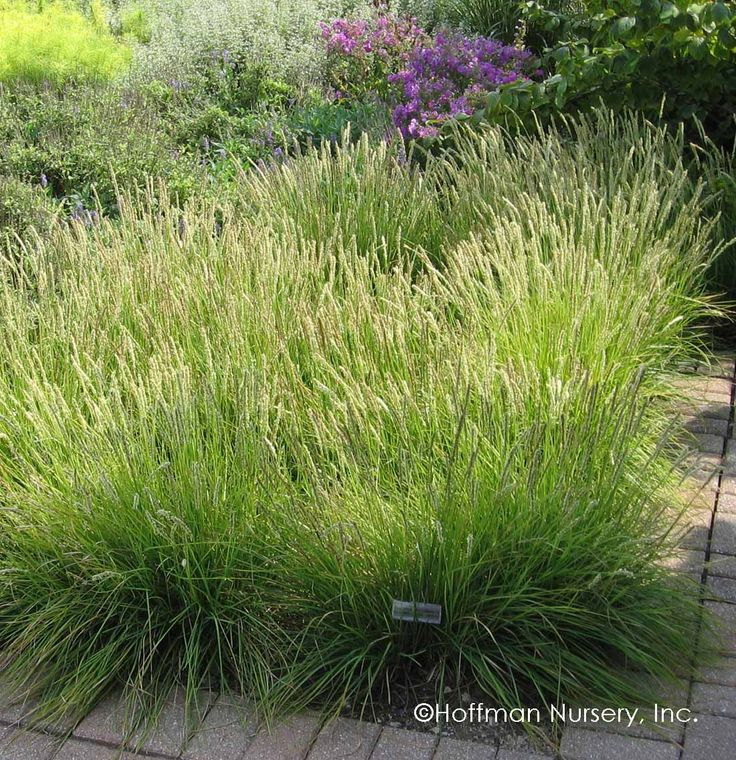 19 best shade tolerant grasses and sedges images on pinterest another cool season ornamental grass sesleria autumnalis autumn moor grass rests quietly in a foot tall mound of yellow green leaves unti workwithnaturefo
