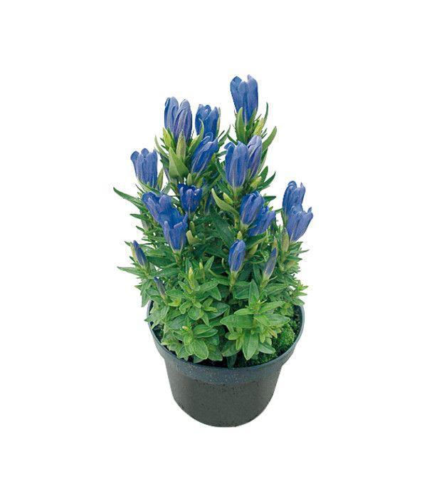 Pyramiden Enzian Dehner Enzian Blaue Pflanzen Pflanzen