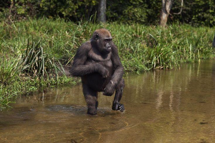 Tanto os gorilas-do-rio-cross ('Gorilla gorilla diehli', subespécie do gorila-do-ocidente, 'Gorilla gorilla'), com menos de 300 exemplares, quanto os gorilas-do-oriente ('Gorilla beringei'), com 5.000, estão classificados como espécies em perigo crítico de extinção na Lista Vermelha da UICN. Esses símios africanos são capturados vivos e vendidos para ser mantidos em cativeiro, ou então são mortos para o consumo de sua carne. Muitos desses animais acabam morrendo ao serem transportados…