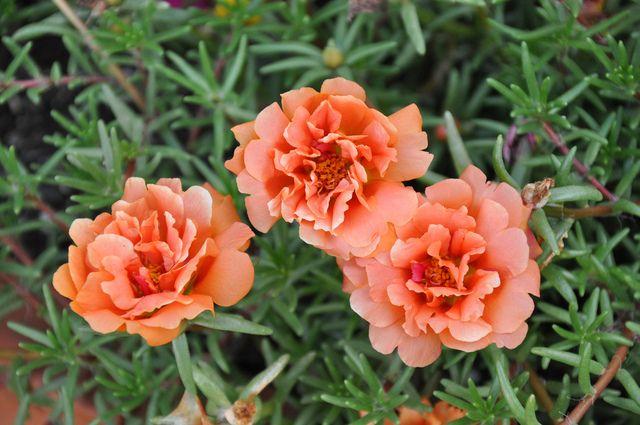 Portulaca grandiflora - Variété à fleurs doubles - douneika / flickr.com