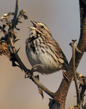 Song Sparrow The Digiscoper