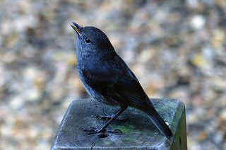 Bush Robin. New Zealand.
