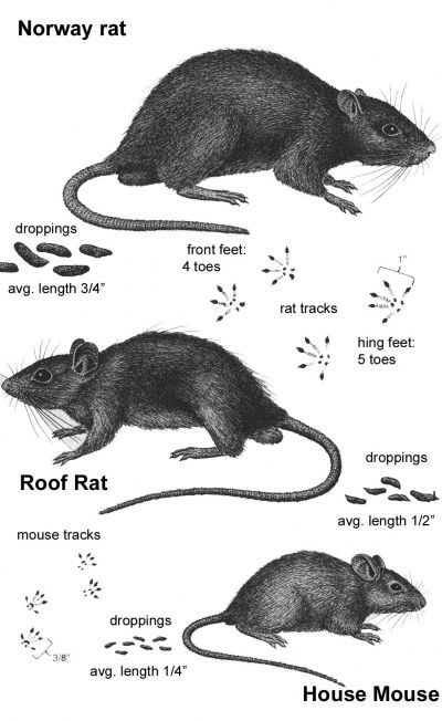 Identifying your rodent problem: Norway rat vs. Roof rat vs. House mouse! Good to know! #homeimprovement #education