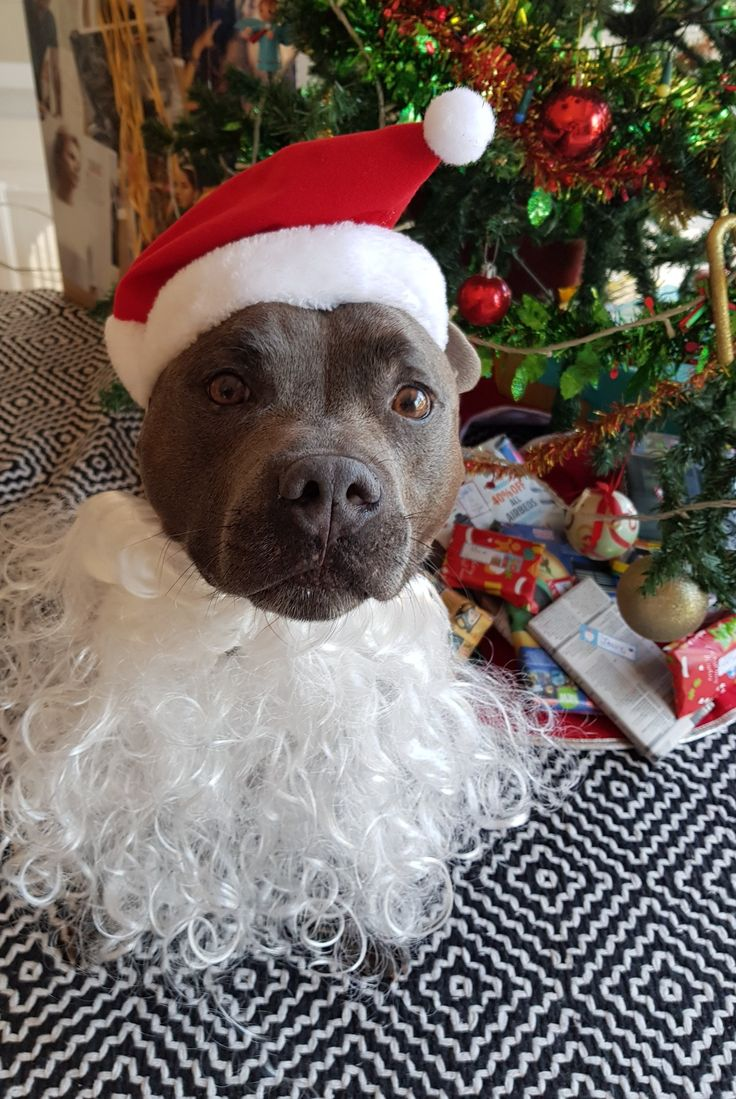 Merry Christmas from Storm the Staffy. Ho ho ho. Love English Staffordshire Bull Terrier. Cute Blue Staffies