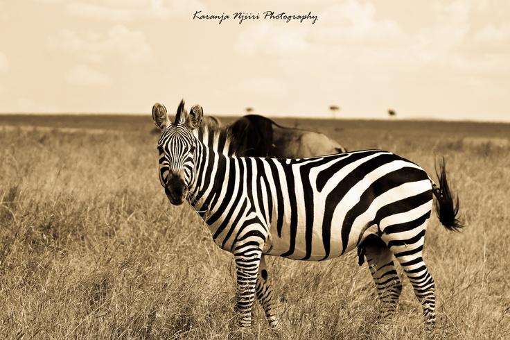 Zebra impression in Black and White.